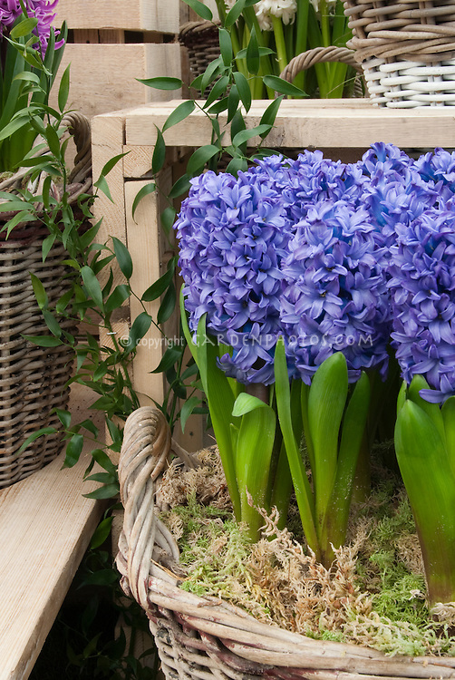 Hyacinth orientalis minor forced in basket plant flower stock photography - Planting hyacinths indoors ...