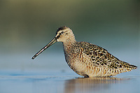 Long-billed Dowitcher, Limnodromus scolopaceus,adult spring plumage, Welder Wildlife Refuge, Sinton, Texas, USA, May 2005