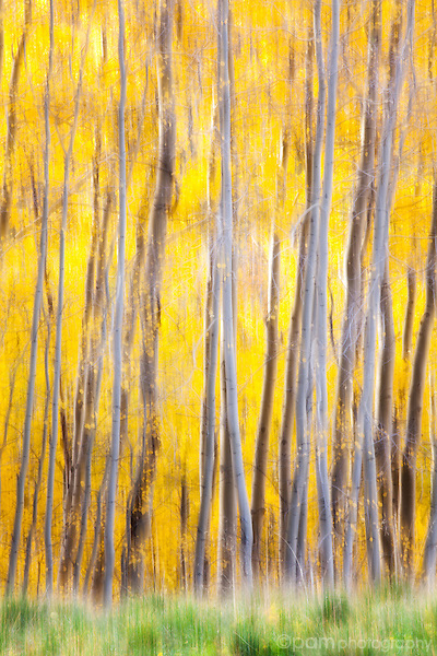 Abstract of yellow Aspen trees with green grass
