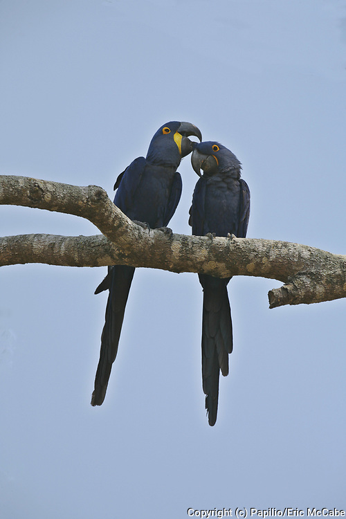 Hyacinth Macaw pair, Anodorhynchus hyacinthus, Pantanal, Brazil