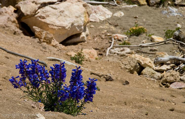 Wildflowers of Yellowstone National Park