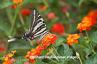 03006-003.01 Zebra Swallowtail (Eurytides marcellus) on Red Spread Lantana (Lantana camara) Marion Co.  IL
