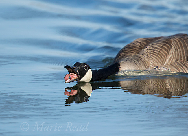 Canada Goose (Branta canadensis) in aggressive pose with bill open, calling, New York, USA