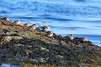 A flock of purple sandpipers. The birds would all rush to the dry side of the rock when a wave would splash the seaward side. Many would then take a nap before going back to the seaward side to look for a snack.