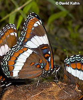"0704-0803  White Admiral Butterfly ""Drinking Moisture from Animal Feces"", Limenitis arthemis ""Northeast United States Form""  © David Kuhn/Dwight Kuhn Photography"