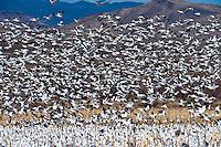 Snow geese, Bosque del Apache National Wildlife Refuge, near Socorro, New Mexico USA