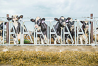 Cows in Fort Morgan, Colorado, Tuesday, July 21, 2015.<br /> <br /> Photo by Matt Nager