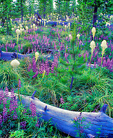 V00143M.tiff   Lupines Bear Grass, and fallen logs. Santiam Pass, Oregon
