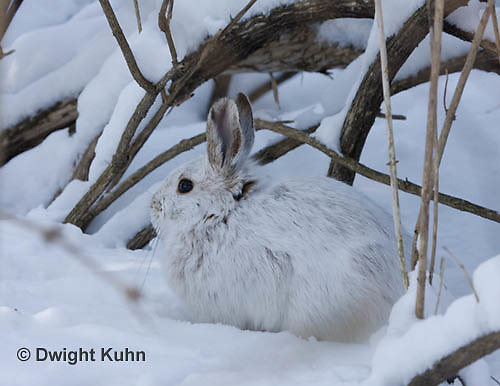 MA19-502z  Snowshoe Hare camouflaged in snow, Lepus americanus