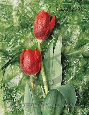Jacek, FLOWERS, portrait, macro, photos, PLSE, PLSEB083,#F# Blumen, flores, retrato