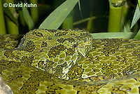 0430-1107  Mang Mountain Pit Viper (China Mangshan Pitviper), Detail of Head, Only Non Cobra that Can Spit Venom, Zhaoermia mangshanensis (syn. Trimeresurus mangshanensis)  © David Kuhn/Dwight Kuhn Photography