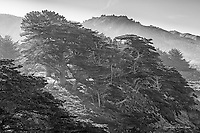Monterey cypress trees on the pacific coast