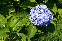 Blue flowering Hydrangea macrophylla Endless Summer shrub in bloom