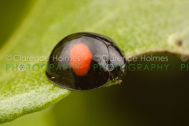 Twice-stabbed Lady Beetle (Chilocorus sp.), either C. cacti or C. stigma, Everglades National Park, Florida.