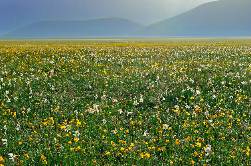 Meadow buttercup (Ranunculus acris) and Poet's Daffodil (Narcissus poeticus), Piano Grande/Sibillini National Park, Italy; WWoE Mission
