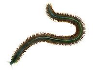 King Ragworm - Nereis virens