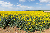 Oil seed rape in flower - Lincolnshire Wolds, May