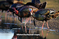 "00845-06005 ""Rio Grande"" Wild Turkey (Meleagris gallopavo) males/gobblers drinking water  Starr Co. TX"