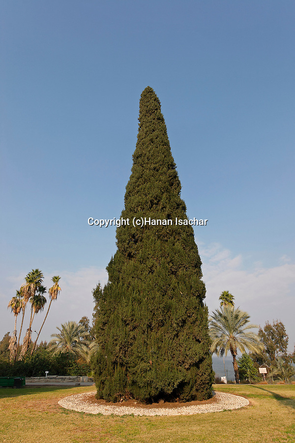 Cypress tree (cupresus sempervirens) in Kibbutz Degania Aleph by the Sea of Galilee, Israel<br />
