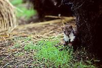 Steenmarter (Martes foina) op zoek naar voedsel