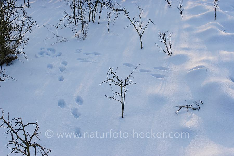 Feldhase, Feld-Hase, Hase, Trittsiegel, Spur, Pfotenabdrücke im Schnee, Hase hat einen plötzlichen Haken geschlagen, Lepus europaeus, Lepus capensis, Brown hare, Lièvre brun