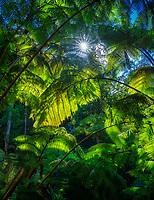 Rainforest and sunburst on trail to Thurston Lava Tube. Hawaii