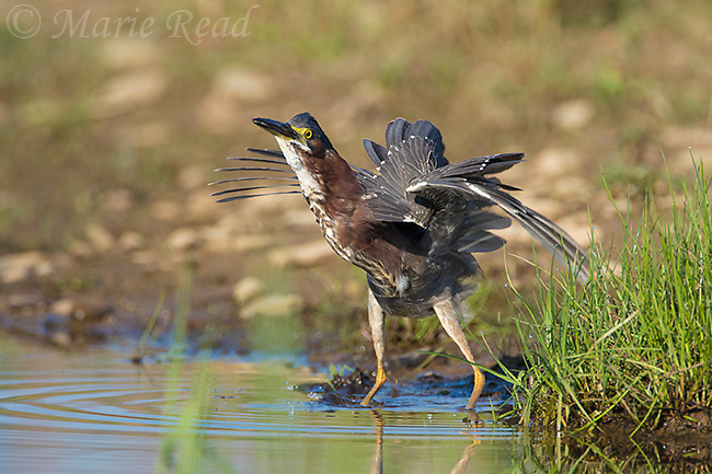 Green Heron (Butorides virescens), startled by attacking Barn Swallows (not visible), Caroline, NY, USA