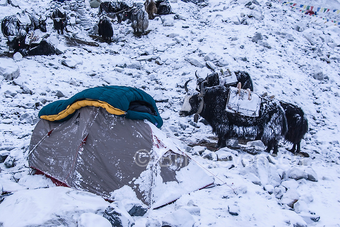 A tent and Yaks on a snowy morning in Cho Oyu basecamp in Tibet.