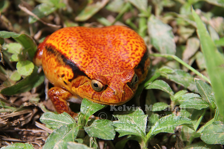 Tomato frogs are any of the four species of genus Dyscophus (family Microhylidae): D. antongilii, D. insularis, or D. guineti.<br />