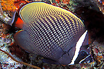 Chaetodon collare; collare butterflyfish