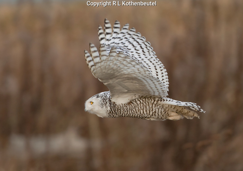 Snowy owl in flight over the tidelands of Boundary Bay.<br />