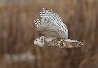 Snowy owl in flight over the tidelands of Boundary Bay.<br /> Near Ladner, British Columbia, Canada<br /> 1/10/2012