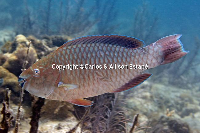 Scarus guacamaia, Rainbow parrotfish, juvenile, Florida Keys