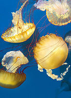 435250014 pacific sea nettle chrysaora fuscescens swim and float in their aquarium at the long beach aquarium in long beach california