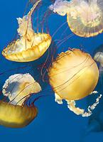 435250014 pacific sea nettle chrysaora fuscescens swim and float in their aquarium at the long beach aquarium in long beach california