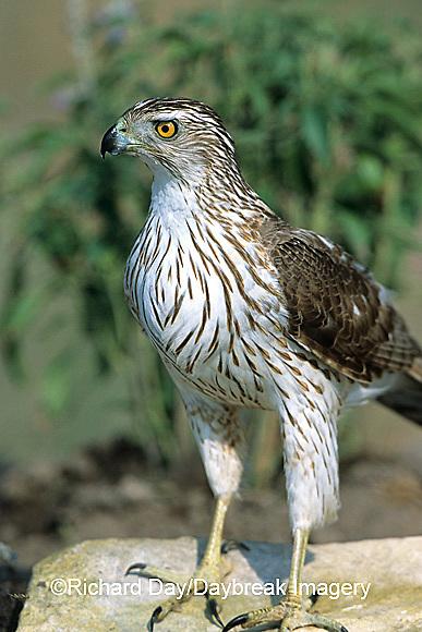 00784-00115 Cooper's Hawk (Accipiter cooperii) immature Starr Co. TX