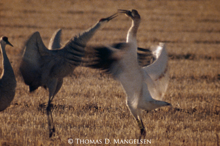 Dancing juvenille Whooping Cranes in Bosque del Apache National Wildlife Refuge, New Mexico