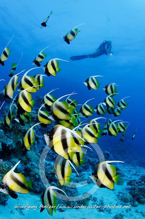 Heniochus intermedius, Schwarm Rotmeer Wimpelfisch,  Wimpelfische und Taucher, School of Red Sea Bannerfish and scuba diver, St. Johns Riff Reef, Rotes Meer, Ägypten, Red Sea Egypt