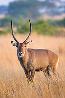 Waterbuck, Queen Elizabeth National Park, Uganda, East Africa
