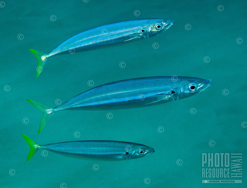 An underwater closeup of three opelu or mackeral scad along the Waianae coast of O'ahu.
