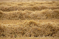 Barley straw in the swath<br /> &copy;Tim Scrivener Photographer 07850 303986<br />      ....Covering Agriculture In The UK....