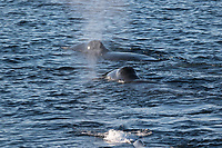 Bowhead whale, Balaena mysticetus, Three swimming together. Critically endangered Barents sea population. Barents sea / Arctic Ocean, Franz Josefs Land, Russia