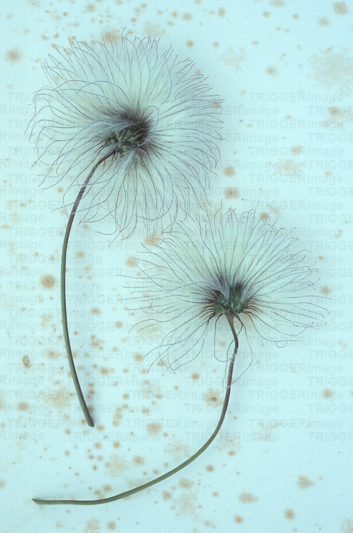Two fluffy white and black seedheads on their stalks of Clematis Frances Rivis lying on antique paper
