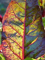 Leafy greens, Community garden, Yarmouth Maine