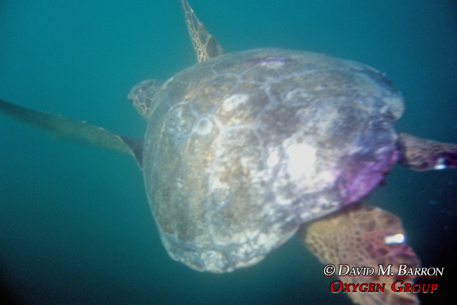 Black Sea Turtle Upon Release