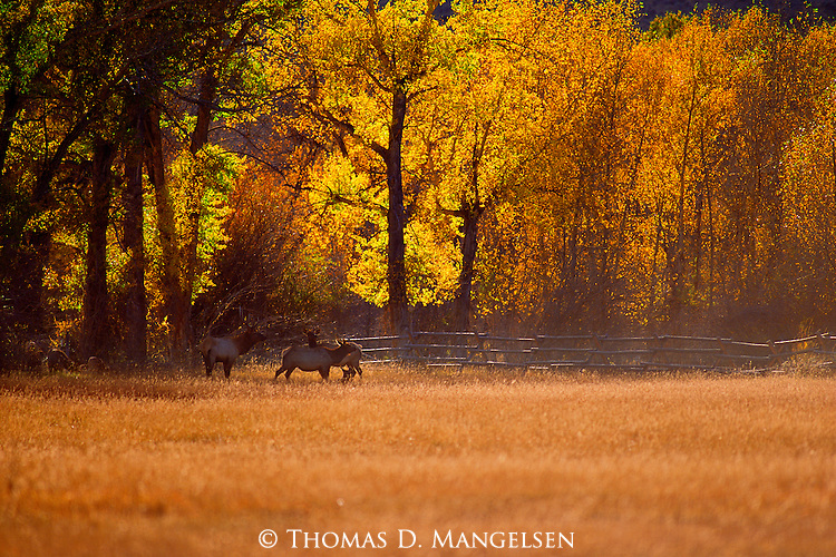 Where the forest gives way to open meadows of the upper mountain zones, elk gather to graze on the golden grasses of the Wyoming Indian summer.