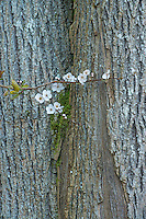 Bitter Cherry branch and Cottonwood tree