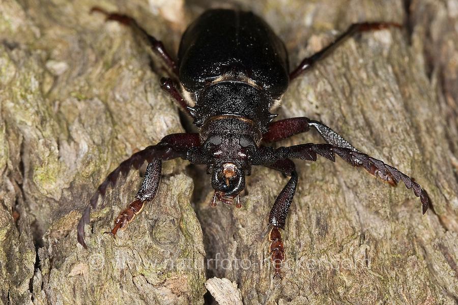 Sägebock, Männchen, Portrait, Porträt, Antennen, Gerberbock, Säge-Bock, Prionus coriarius, the tanner, the sawyer, prionus longhorn beetle
