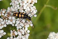 Vierbindiger Schmalbock, Halsbock, Schmal-Bock, Hals-Bock, Weibchen beim Blütenbesuch auf Schafgarbe, Leptura quadrifasciata, Strangalia quadrifasciata, Four-banded Longhorn Beetle