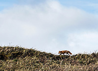 A fox in Cold Bay, Alaska, Monday, October 31, 2016. The Izembek National Wildlife Refuge lies on the northwest coastal side of central Aleutians East Borough along the Bering Sea and Cold Bay. Birds hunted include the long tailed duck, the Steller's Eider, the Harlequin, the King Eider and Brant.<br />